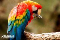 Ara Macaw – Guacamayo Escarlata