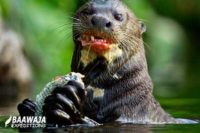 River Wolf – Giant Otter