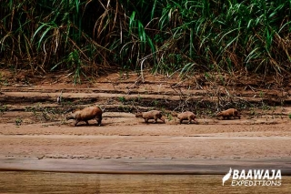 Family of añujes on the bank of the tambopata river